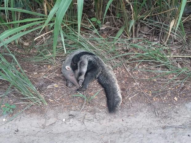 Filhote de tamanduá-bandeira foi encontrado às margens da BR-153 (Foto: Naturatins/Divulgação )