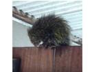 Morador encontra ouriço-cacheiro no portão de casa, na Serra, ES