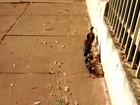 Morador flagra família de marrecos 'passeando' em avenida de Cuiabá