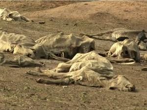 Cerca de 30 mil animais morreram na região de janeiro a junho desse ano (Foto: Reprodução/TV Bahia)