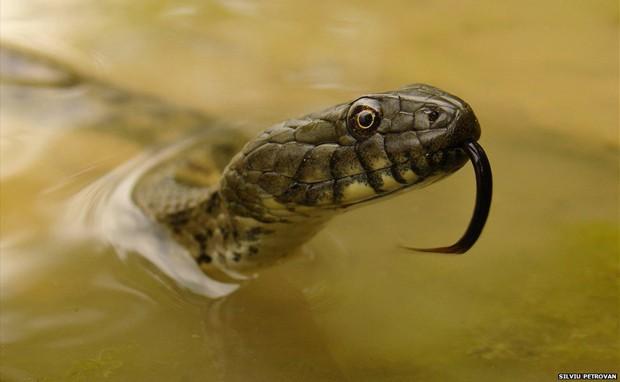 Imagem de uma cobra saindo da água de uma lagoa na Romênia venceu na categoria Organismos Completos e Populações (Foto: Silviu Petrovan/BBC)
