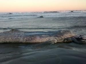 Baleia foi encontrada na orla da praia de Ilha Comprida (SP) (Foto: Divulgação/Prefeitura de Ilha Comprida)
