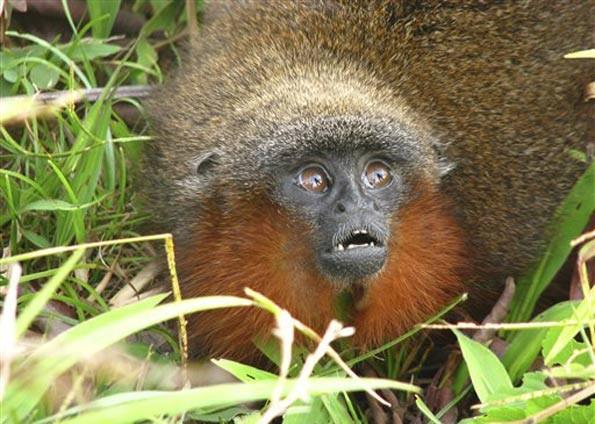 Macaco Callicebus caquetensis (Foto: Javier Garcia/AP)