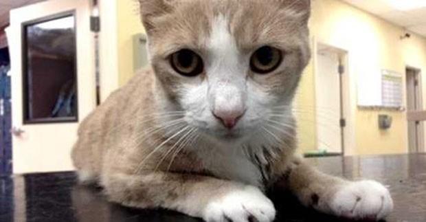 Gato foi salvo após receber transfusão de sangue de cão na Flórida (Foto: Reprodução/Facebook/Marathon Veterinary Hospital)