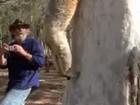 Coala encontrado em área desmatada na Austrália é libertado; veja vídeo