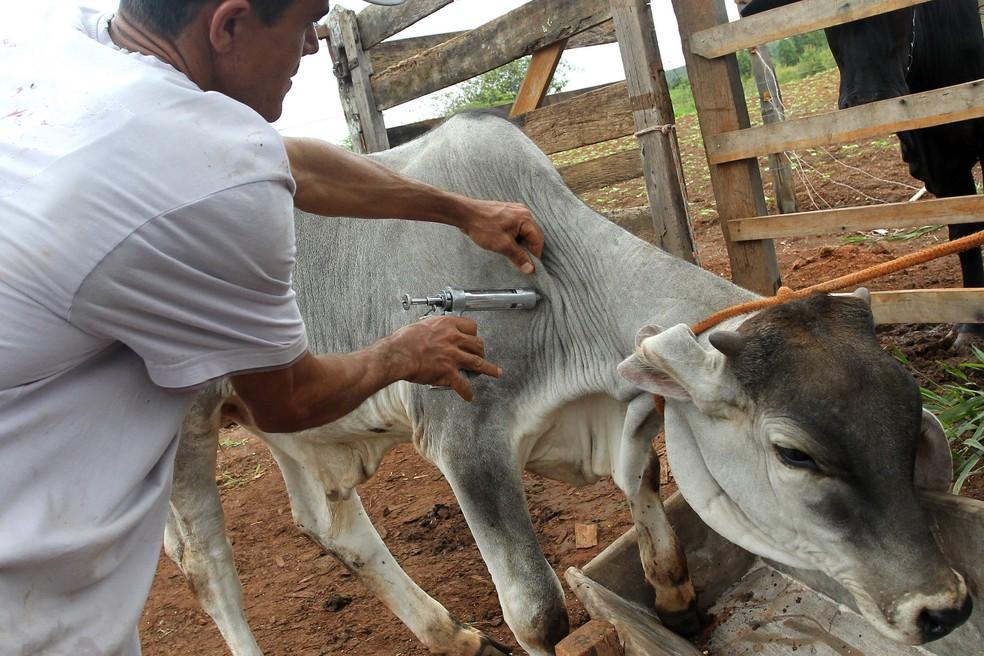 Produtor rural aplica vacina contra febre aftosa em animal (Foto: Toninho Tavares/Agência Brasília)