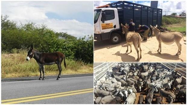 Símbolo da região, jumento foi sendo abandonado no Nordeste e passou a circular solto em rodovias (Foto: Rico Seridó/PRF/Divulgação)
