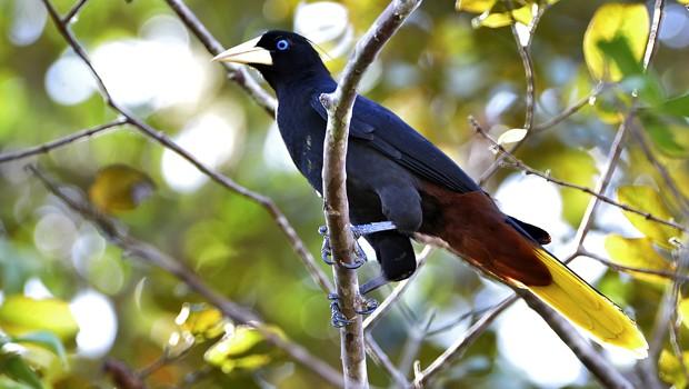 Essa espécie vive em bordas de matas primárias e secundárias, e também em áreas abertas adjacentes (Foto: Rudimar Narciso Cipriani)