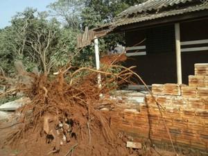 Por pouco, árvore não caiu em cima de uma casa em Mirador após o temporal que atingiu o município (Foto: Valdomiro Pereira/ RPC TV Noroeste)