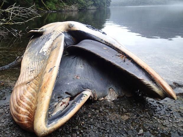 Foto de 21 de abril, divulgada na terça (1º), mostra o corpo de uma baleia Sei encalhada em Caleta Buena, no Chile (Foto: Vreni Haussermann/Huinay Scientific Center via AP)