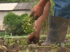 Produtores de Biritiba Mirim comemoram preço do agrião