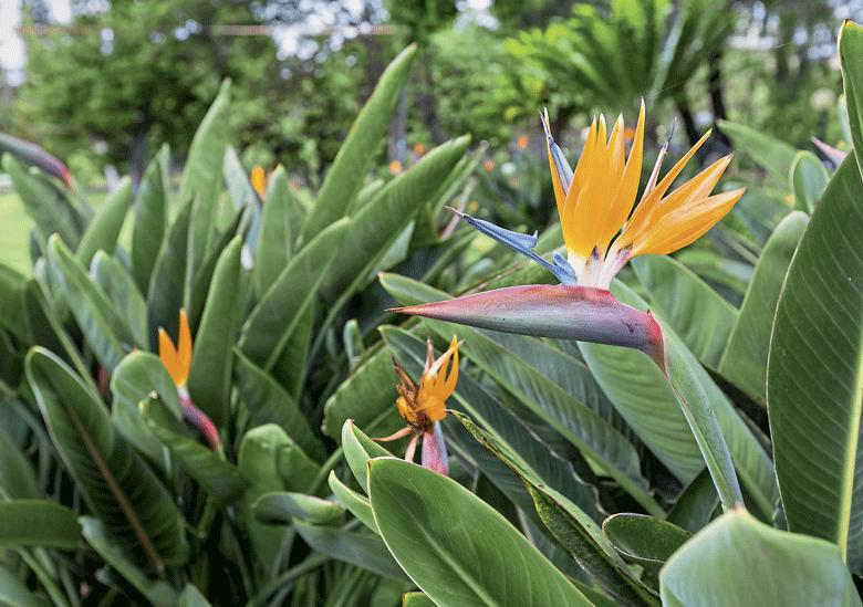 Como plantar estrelícia – SEMAGRO