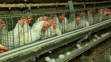 Fronteira do Brasil deste sábado fala dos cuidados na produção de ovos (Reprodução TV Fronteira)