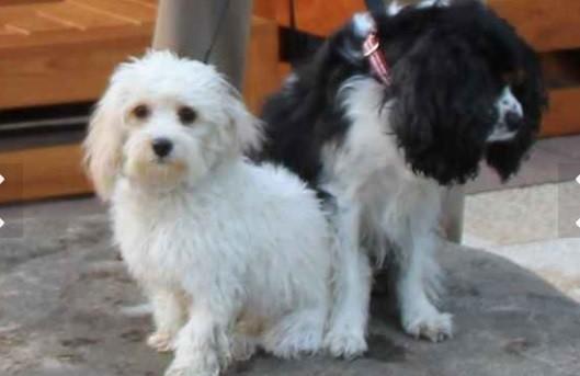 Nilla e Oreo, cachorros de Bill Gates (Foto: reprodução )