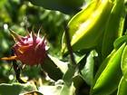 Plantio consorciado é aposta dos produtores de frutas