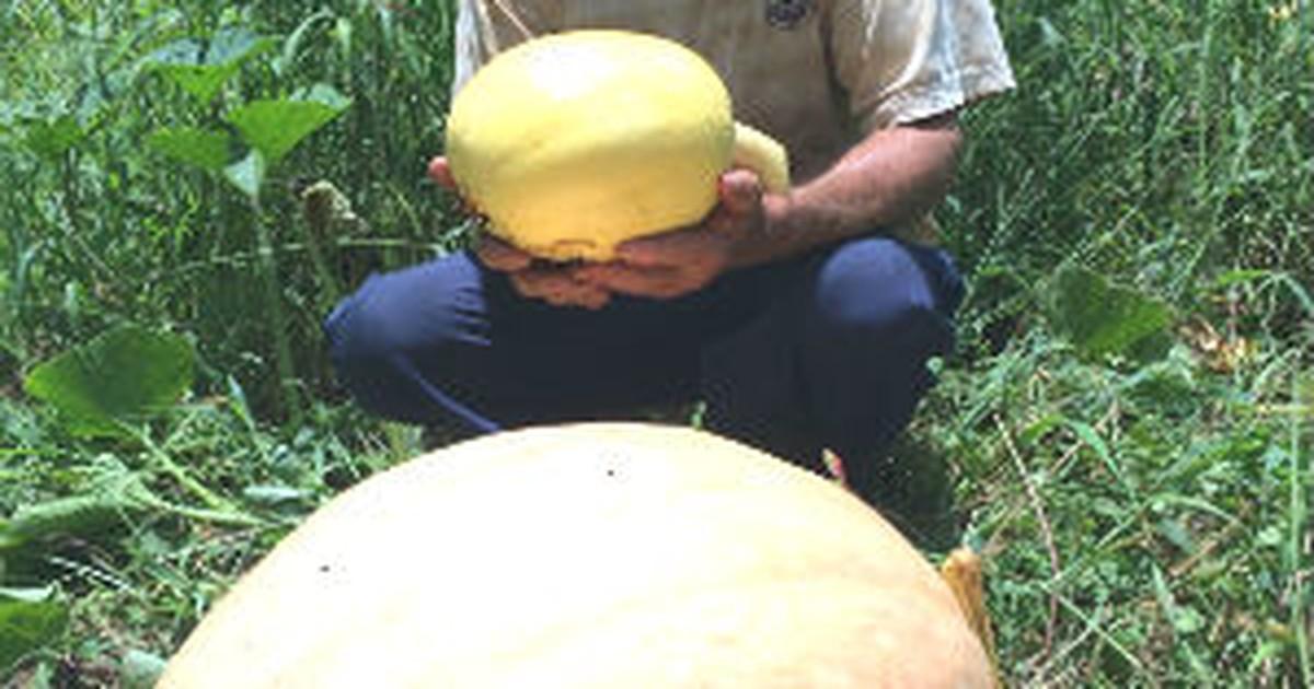 'Vou ganhar um dinheirão', diz agricultor sobre abóboras gigantes - Globo.com