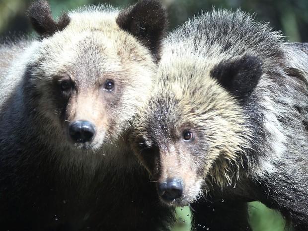As filhotes de urso-pardo Juneau e Sitka são exibidas pela primeira vez ao público no Palm Beach Zoo, na quinta (17) (Foto: Joe Raedle/Getty Images/AFP)