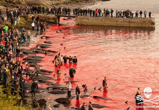 O mar fica tingido com o sangue das baleias piloto mortas nas praias das Ilhas Faroe, um arquipélago pertencente à Dinamarca. A matança é um ritual que acontece todos os anos (Foto: Reprodução/Sea Shepherd Global Facebook)