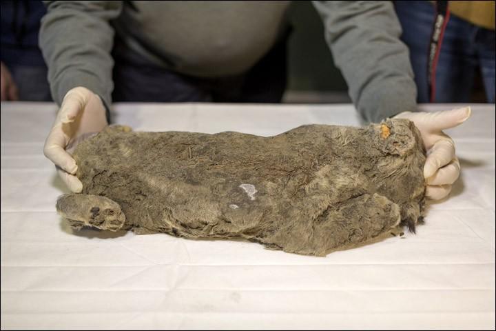 Leão da Caverna encontrado tem 45 centímetros e quatro quilos e viveu entre 20 e 50 mil anos (Foto: Anastasiya Koryakina/Siberian Times)