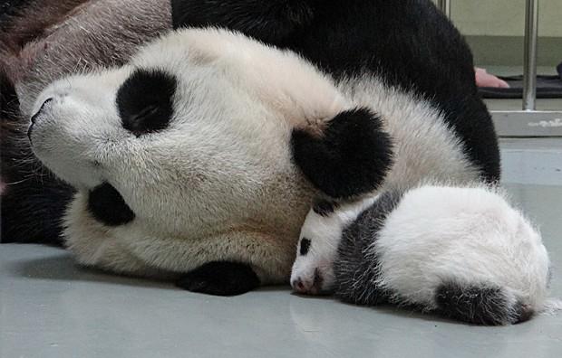 """""""Yuan Yuan"""" e sua filha """"Yuan Zai"""" dormiram juntas pela primeira vez esta semana (Foto: Taipei City Zoo/AFP)"""