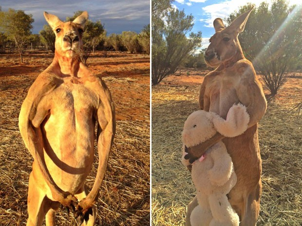 Na Páscoa, o santuário postou uma foto de Roger com um coelhinho de pelúcia, presente dado por uma fã. 'Ele não sabia se devia abraçar ou matar o coelhinho', respondeu Brolga a um comentário sobre a foto (Foto: Reprodução/Facebook/The Kangaroo Sanctuary Alice Springs)
