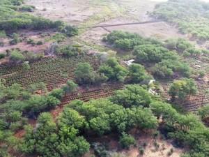PF erradica 403 mil pés de maconha no Sertão de PE. (Foto: Divulgação/ Polícia Federal)