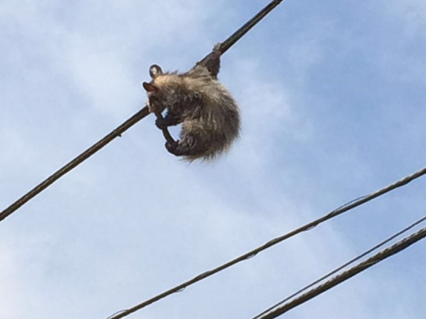 Saruê dá cambalhota e tenta se equilibrar em frio de eletricidade  (Foto: Jéssica Cristina Gonçalves/Arquivo Pessoal)
