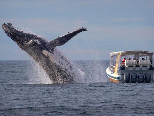 Baleia salta na Austrália: todo mundo olhando para o lado errado (Foto: John Goodridge/Whale Watching Sydney)
