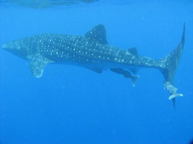 Tubarão-baleia é encontrado na região de São Pedro e São Paulo (Foto: Divulgação)