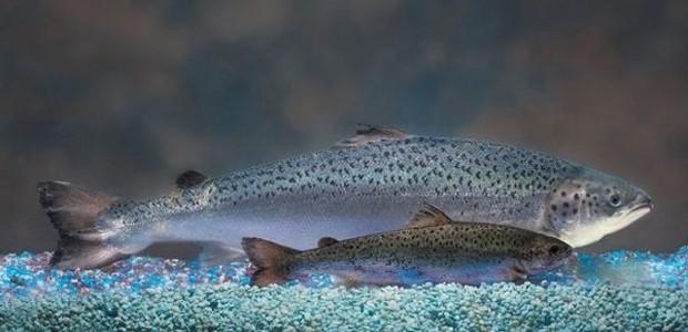 Imagem mostra dois espécimes de salmão, um maior e geneticamente modificado, e outro com tamanho normal (Foto: Divulgação/Aquabounty)