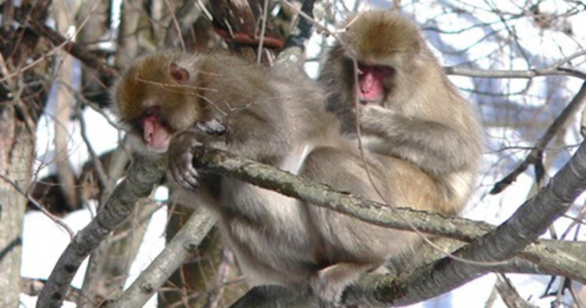 Estudo detecta alterações no sangue de macacos da região de Fukushima