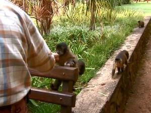Pousada em Dourado recebe a visita dos macacos-prego (Foto: Paulo Chiari/EPTV)