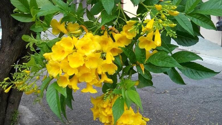 gr-responde-ipe-de-jardim-flor (Foto: Sandro Giolo/ Arquivo Pessoal)