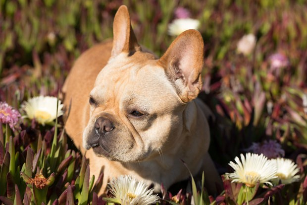 """Frenchie"" Puppy Male sitting in California Coastal Vegetation. (Foto: Getty Images/iStockphoto)"
