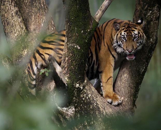 Tigre-de-Sumatra sobe em árvore em zoológico na Indonésia; espécie pode desaparecer (Foto: Binsar Bakkara/AP)