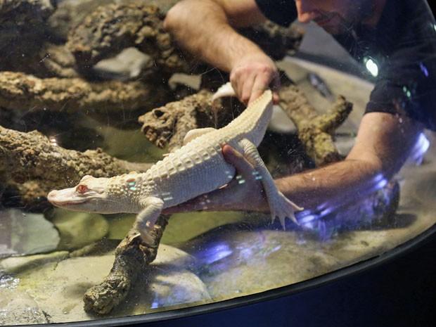 Jacarés albinos estão em aquário de Paris; espécies são raras (Foto: Remy de la Mauviniere/ AP)