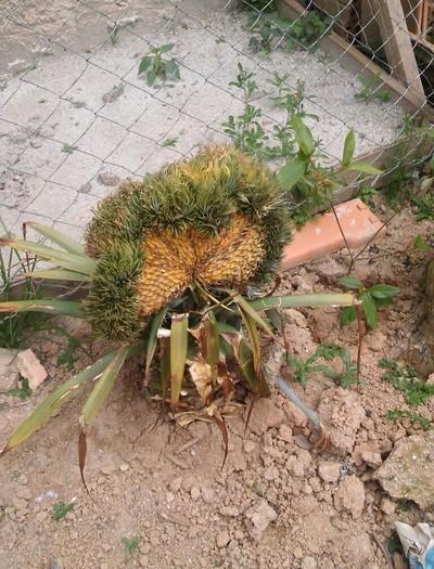 gr-responde-abacaxi-quadrado (Foto: Eliene Rocha/ Arquivo Pessoal)