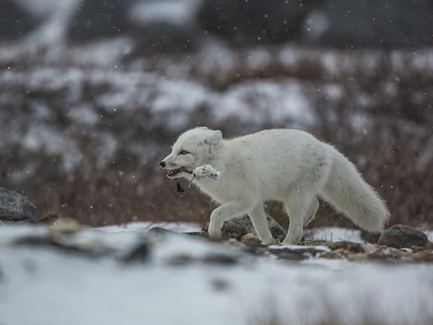 Os animais atacam até os cachorros da cidade (Foto: Gshow)