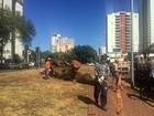 Ingá com mais de 40 anos é cortado em avenida de Campo Grande