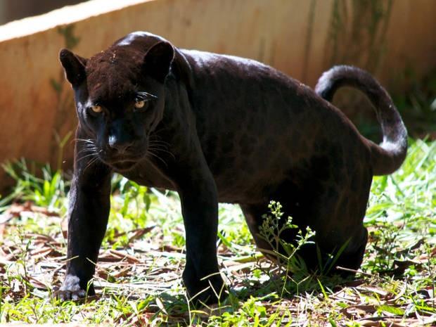 Animais da fauna da amazônia, como a onça, atraem visitantes ao parque (Foto: Divulgação / Vale)