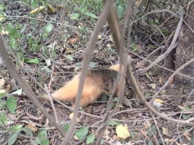 Tamanduá-mirim capturado foi devonvido à mata nativa (Foto: Corpo de Bombeiros/Divulgação)