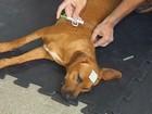 UFRR vai implantar microchips de identificação em animais domésticos