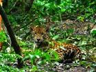 Onças do Parque Nacional do Iguaçu podem ser extintas em até 80 anos