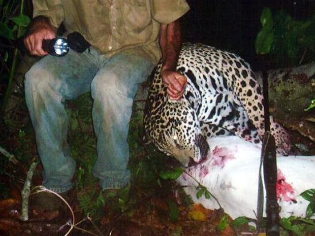 Pecuarista foi preso por matar onças; Polícia Federal divulgou imagens dos animais mortos pelo suspeito (Foto: Divulgação/Polícia Federal de MT)