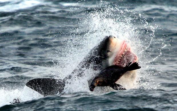 Foca conseguiu escapar milagrosamente de ataque de grande tubarão branco (Foto: Dan Callister/Caters News/The Grosby Group)