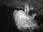 Câmera flagra onça-parda andando em reserva ambiental de Goiás; vídeo