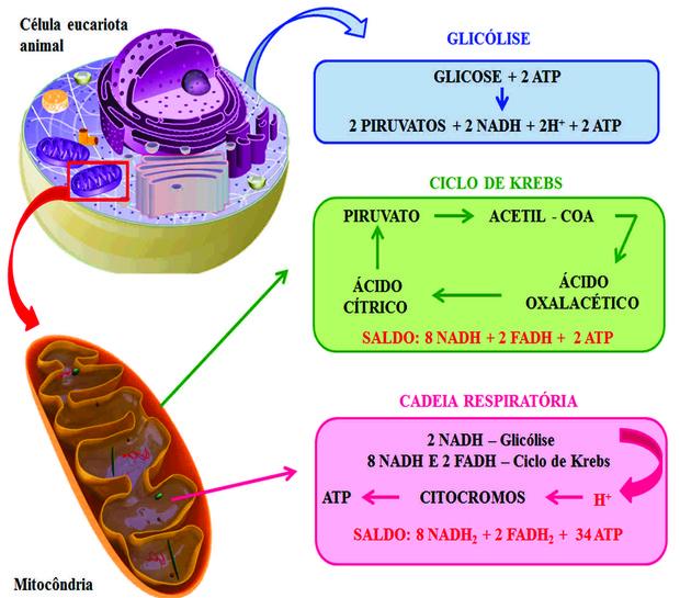 Esquema simplificado dos processos que envolvem a respiração aeróbia (Foto: Objetos educacionais/Mec)