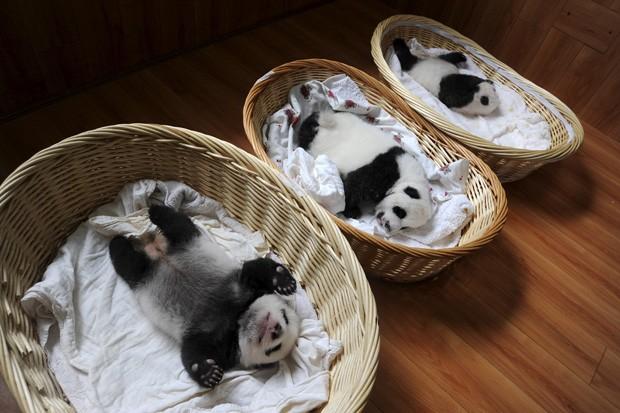 Filhotes de pandas são vistos em cestas em centro de reprodução na China (Foto: Reuters/Springer)