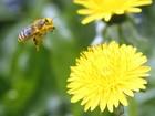 União Europeia identifica novo inseticida mortal para as abelhas
