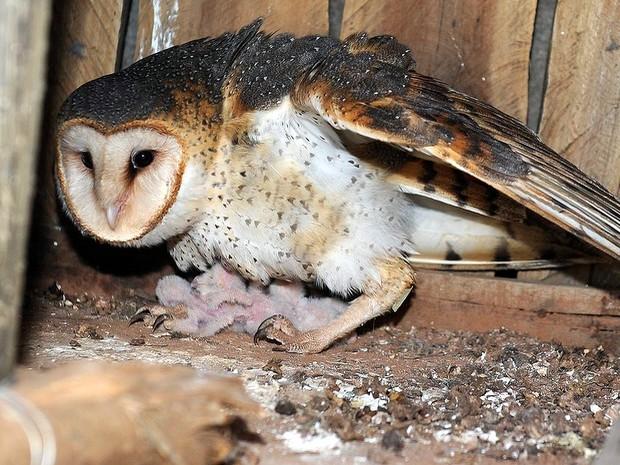 Corujas da espécie suindara nasceram no novo zoológico de Limeira (Foto: Wagner Morente/Prefeitura de Limeira)